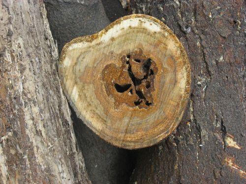 tree rings stump otsu park