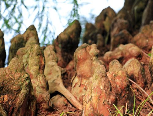 tree roots pneumatophore respiratory roots