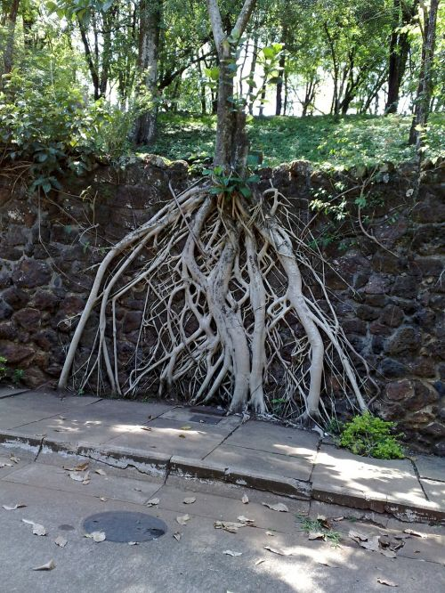 tree roots exposed park