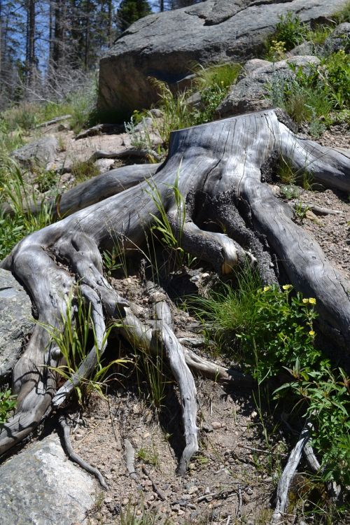 tree roots roots tree with roots