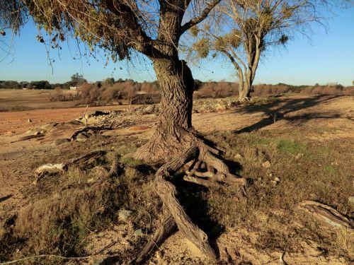 medis, šaknys, smėlis, kraštovaizdis, medžių šaknys smėlyje 121