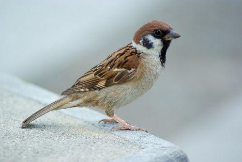 tree sparrow sparrow bird