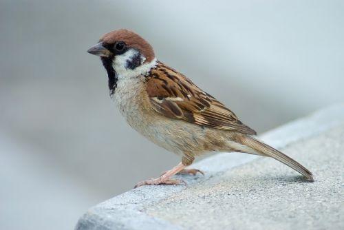 tree sparrow bird perched