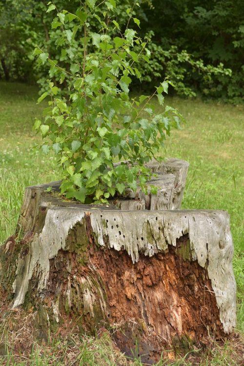 tree stump tree live