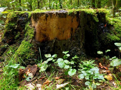 tree stump tree forest