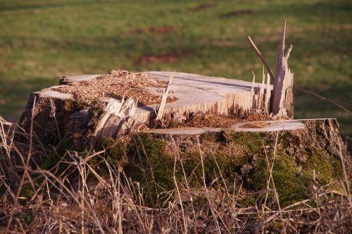 tree stump tree sawed off