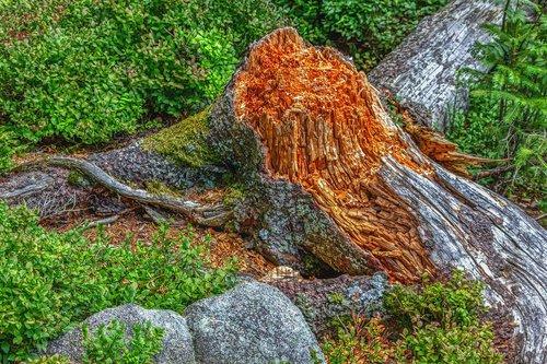 tree stump  nature  tree