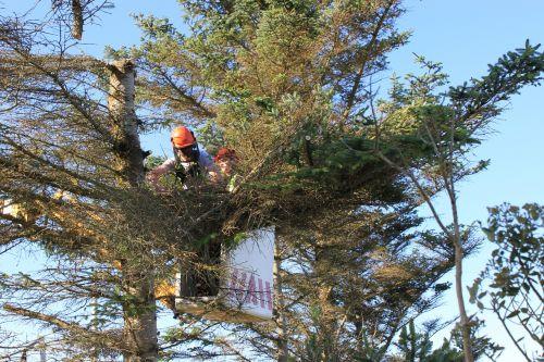 tree surgery cutting trees cherry picker