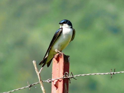 tree swallow bird swallow