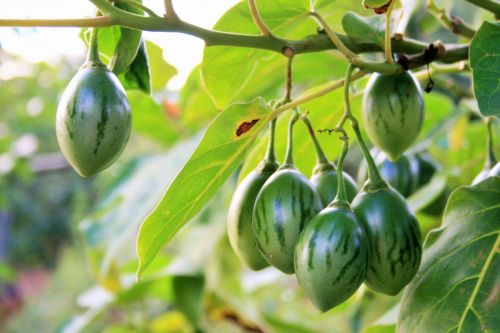 Tree Tomato Bearing Fruit