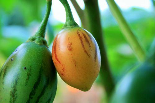 Tree Tomato Ripening
