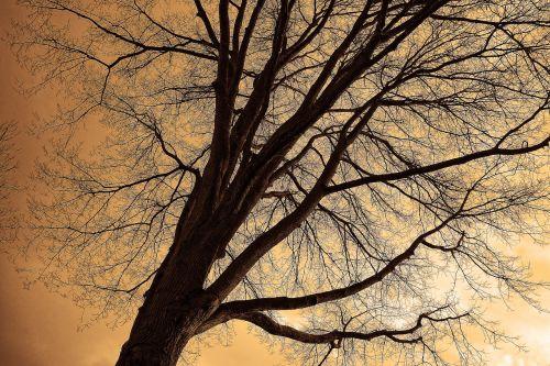 medžio viršūnė,medis,bagažinė,filialai,plikas filialus,siluetas,kontūrus,skeletas,žiemos medis,lapuočių medis
