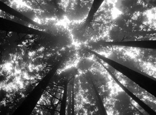 tree tops black and white sun