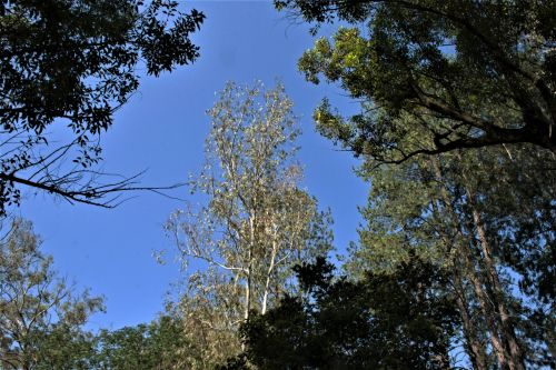 Tree Tops And Blue Sky