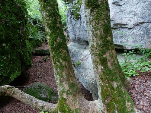 tree trunks trees rock