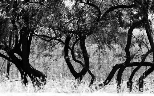 Tree Trunks In Black And White