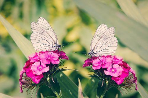 tree-white linge butterflies white ling