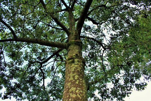 Tree With Seedpods
