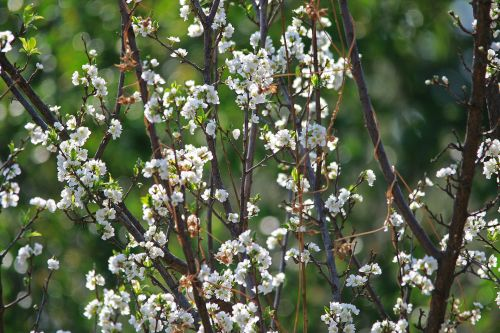 Tree With White Blossoms