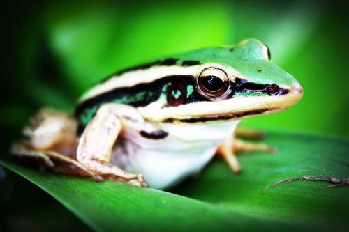 treefrog amphibian frog