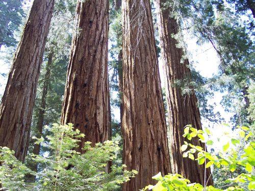 sequoia grants grove mammoth trees
