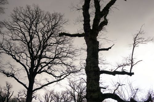 trees oak old oak