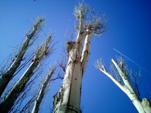 trees tala pruning