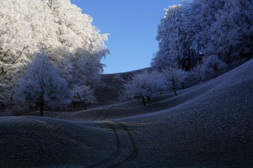 trees hoarfrost wintry