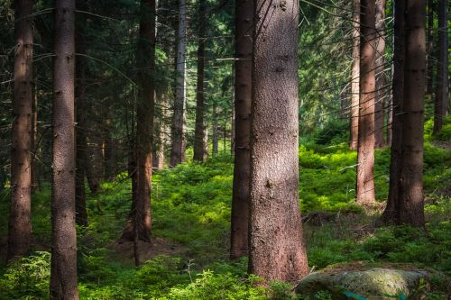 trees spruce forest