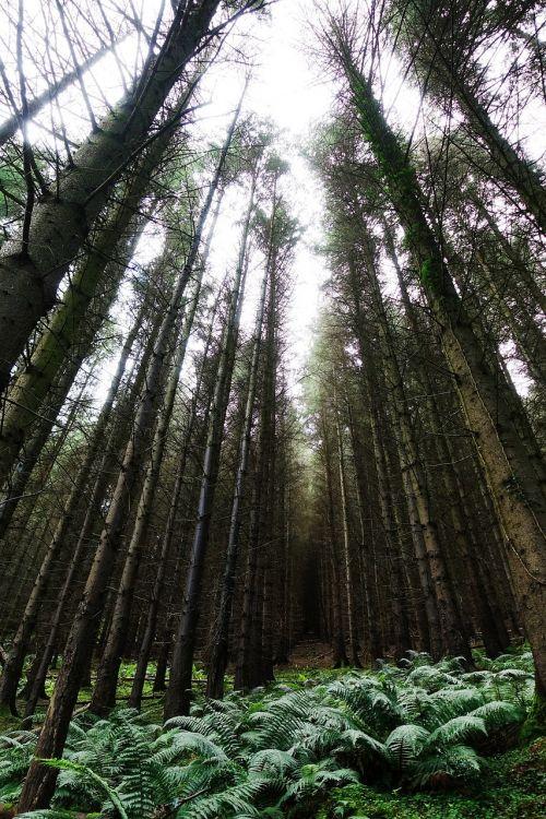 medžiai,miškas,aukštas,pušis,šviesa,žalias,mediena,spygliuočių,visžalis,bagažinė,augimas,gamta,miškas,papartis,pomidoras,pasiekti,pasiekti,aukštyn,tamsi,priekabiavimas,uždrausti,creepy,žiaurus