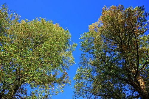 medžiai,medžiai,lapija,lapai,mėlynas dangus,du medžiai