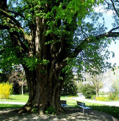trees chestnut tree log