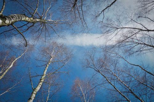 trees birch nature