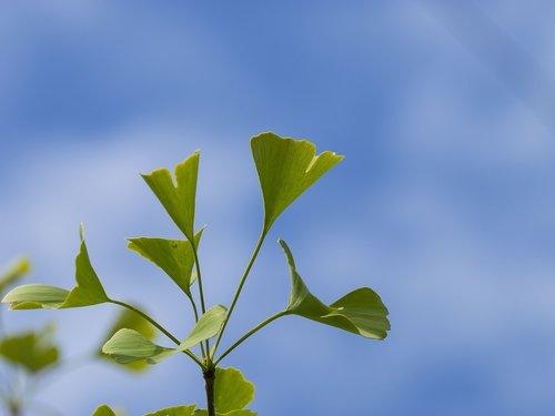 trees  ginkgo  maidenhair tree