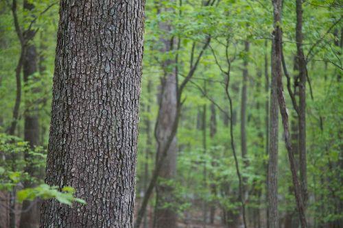 trees hardwood forest