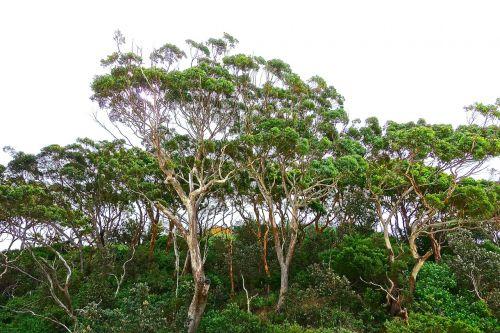 trees gumtree eucalyptus