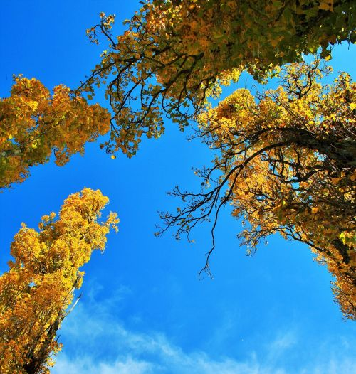 medžiai,tuopa,ruduo,geltona