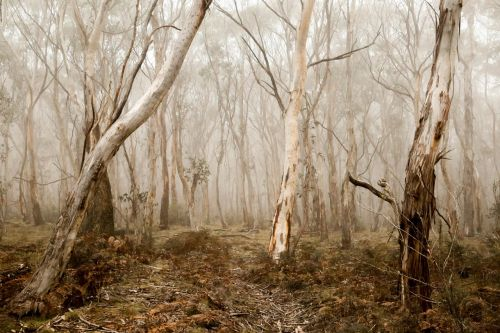 trees fog gloomy