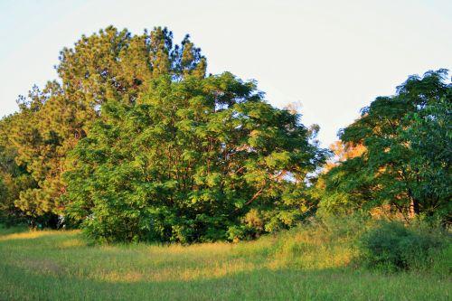 medis, syringa, pušis, veld, žolė, žalias, medžiai ir veld
