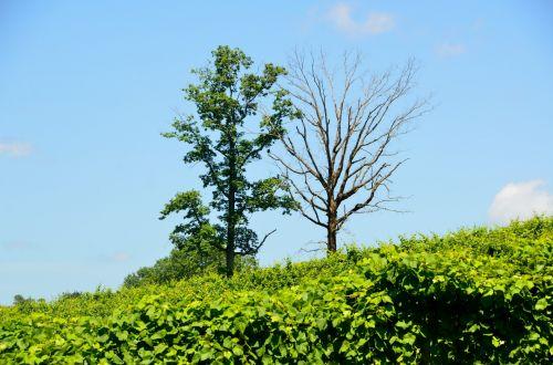 Trees At Vineyard