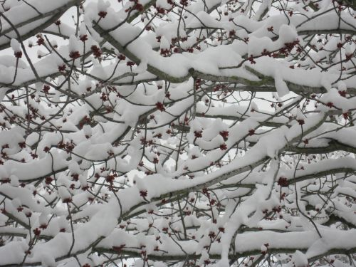 trees branches snow fruit