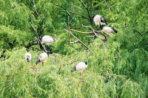 Trees With African Sacred Ibis