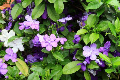 Tri-purple Shrub