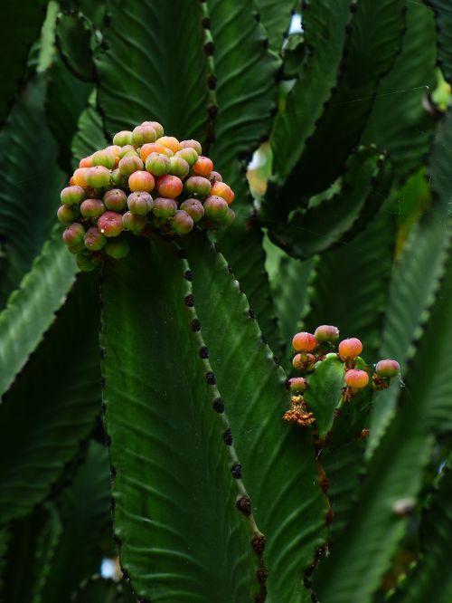 triangular spurge plant blossom