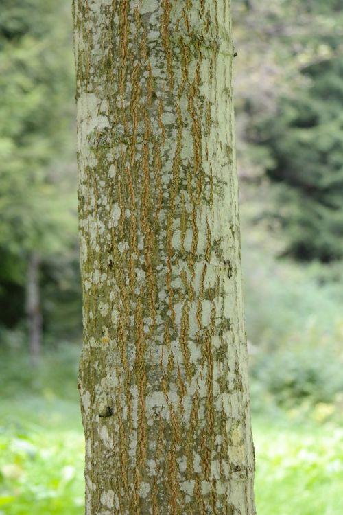 tribe log red oak