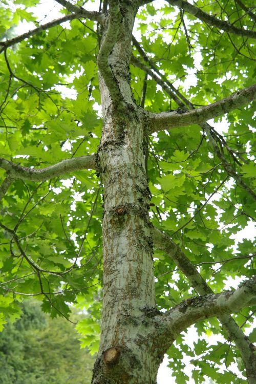 tribe log leaves