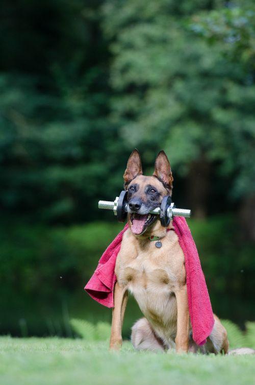 trick dog trick malinois
