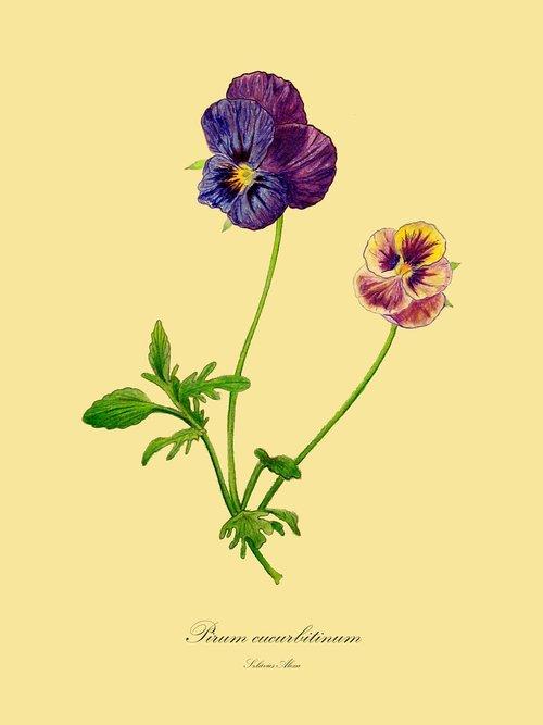 trifolium pratense  viola  drawing