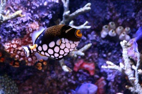 triggerfish  triggerfish-clown  balistoides conspicillum