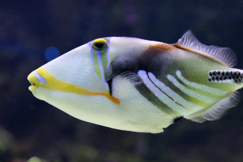 triggerfish  picasso trigger fish  fish
